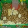Nasi goście - Wielkanocne kurczaczki